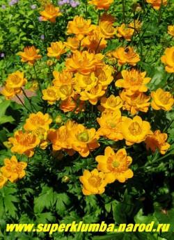 КУПАЛЬНИЦА ЛЕДЕБУРА (Trollius ledebourii)  крупные диаметром до 8 см ярко-оранжевые цветы с длинными заостренными смотрящими вверх нектарниками, цветет с середины июля по август, высота до 70 см, ЦЕНА 200 руб (делёнка)
