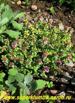 """зацветает ТИМЬЯН ЛИМОННОПАХНУЩИЙ """"Дун Веллери"""" (Thymus citriodorus """"Doone Vallery"""") Старые растения необходимо время от времени подстригать, чтобы кустарнички оставались густыми и опрятными. На зиму этому сорту желательно профилактическое укрытие.   НЕТ  В ПРОДАЖЕ"""