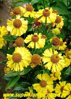 """ГЕЛЕНИУМ ОСЕННИЙ """" ЖЕЛТЫЙ"""" (Helenium autumnale) цветы желтые с коричневой серединкой , иногда с незначительным оттенком рыжего на лепестках, цветёт с августа 40-45 дней. Высота до 90 см, ЦЕНА 150 руб (делёнка)"""