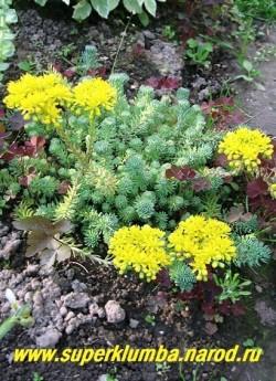 """цветет ОЧИТОК СКАЛЬНЫЙ ОТОГНУТЫЙ """"Глаукум"""" (Sedum rupestre ssp. reflexum """"Glaucum"""") Цветки мелкие, желтые, собраны в щитковидные соцветия средней величины. Соцветия более пышные, чем у исходного вида, диаметр щитков . Растение легко укореняется в месте соприкосновения с почвой. НОВИНКА! ЦЕНА 150 руб (1деленка)"""