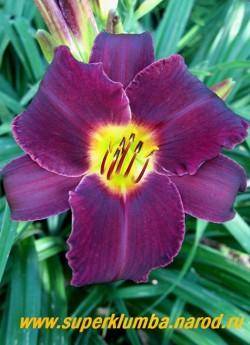 Лилейник БАРМЕН (Hemerocallis Barman) бархатистый шикарный бордово-черный цветок с лимонным горлом, Диаметр цветка 12-14 см, цветет с июля-сентябрь, высота до 60 см,  ЦЕНА 250 руб (1 шт)