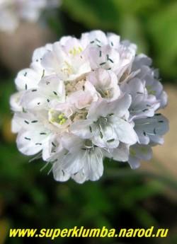"""крупным планом соцветие АРМЕРИИ ПРИМОРСКОЙ """"Альба"""" (Armeria maritima """"Alba"""") цветет все лето с июня по август, НОВИНКА! ЦЕНА 250 руб."""