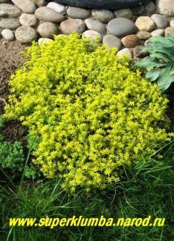 на фото цветет ОЧИТОК ЕДКИЙ (Sedum acre) Цветет очень обильно с июня-июль. Довольно быстро разрастается, поэтому на маленьких площадях его желательно ограничивать в росте. ЦЕНА 100-150 руб (1 деленка)