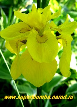 Ирис АИРОВИДНЫЙ МАХРОВЫЙ (Iris pseudacorus f. pleno) Махровая форма болотного ириса, цветок как бы двухярусный , ярко-желтые с коричневым узором у оснований лепестков. Высота 70-80см, цветет июнь. ЦЕНА 200 руб (1 дел)