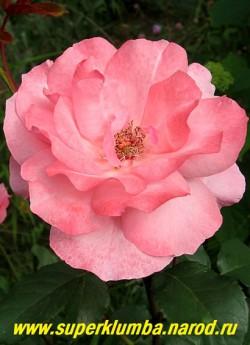 РОЗА №6. Роза нежно-розовая полумахровая. Высота 70-80 см, цветет с июня до заморозков. НЕТ В ПРОДАЖЕ