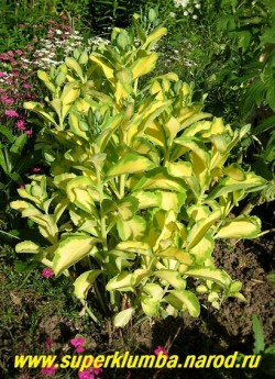 """ОЧИТОК БЕЛОРОЗОВЫЙ """"Медиовариегата"""" (Sedum erythrostictum ''Mediovariegata'') НОВИНКА , прямостоячее растение до 40 см в высоту , листья сидячие, крупные, золотисто- желтые с голубовато-зеленой окантовкой , очень яркий и нарядный очиток . ЦЕНА 200 руб (1 деленка)"""