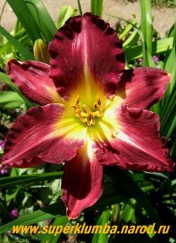 Лилейник ТУФ (Hemerocallis Tooth ) очень крупный тёмно-вишневый с гофрировкой по краю лепестка и лимонным горлом, цветок 15-17 см, высота 75 см, цветет с начала июля. ЦЕНА 300 руб (1шт)