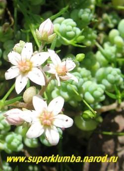 цветы ОЧИТКА ГУСТОЛИСТНОГО (Sedum dasyphyllum) ЦЕНА 200-250 руб (1 деленка)