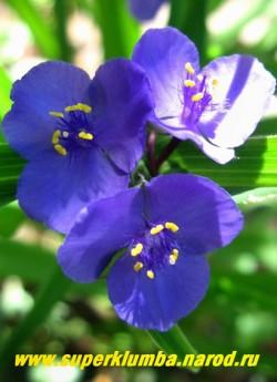 ТРАДЕСКАНЦИЯ ВИРГИНСКАЯ (Tradescantia virginiana) высокая традесканция с насыщенно-синими цветами, диаметром до 3,5 см, высота 70- 80 см, цветет июнь-сентябрь, ЦЕНА 200 руб ( кустик: 3-4 шт)