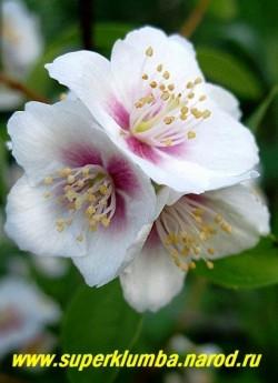 """ЧУБУШНИК ОБЫКНОВЕННЫЙ """"Белль Этуаль"""" (Philadelrhus pallidus """"Belle Etoile"""") Цветы крупным планом. Диаметр цветка 4см. Запах земляники! Высота 100-140см. НЕТ В ПРОДАЖЕ"""