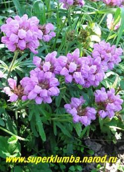 ЧЕРНОГОЛОВКА КРУПНОЦВЕТКОВАЯ (Prunella grandiflora)  почвопокровное растение 15-20 см высотой. Листья сильно разрезные перисто-рассеченные. Сиренево-розовые цветки собраны в крупные и пышные соцветия. Цветет длительно с июня по август. НЕТ В ПРОДАЖЕ
