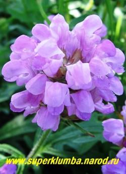 соцветие ЧЕРНОГОЛОВКИ КРУПНОЦВЕТКОВОЙ (Prunella grandiflora) крупным планом . Неприхотлива и зимостойка, растет и цветет как на солнце, так и в тени. НЕТ В ПРОДАЖЕ