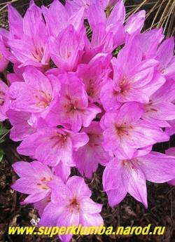 КОЛХИКУМ СИБТОРПА или БИВОНСКИЙ (Сolchicum sibthorpii = bivonae) Очень крупные цветки до 7 штук из одной луковицы, с более светлой серединкой и пурпурными лепестками, испещренными шахматным рисунком. Цветет осенью, листья развиваются весной. Редок. НОВИНКА! ЦЕНА 350 руб. (1 шт)