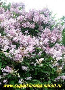 """СИРЕНЬ ВЕНГЕРСКАЯ """"Паллида"""" (Syringa josikaea f. pallida) высокая сирень цветущая на 2 недели позже сирени обыкновенной, цветы светло-сиреневые в крупных метелках со слабым ароматом . Цветет в течении 25 дней очень обильно, корневой поросли не дает. ЦЕНА 350 руб. (4 летки)"""