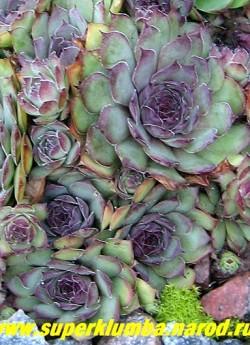 МОЛОДИЛО №17 зелено-голубое с вишневыми кончиками, крупные розетки диаметром 7-10см. НОВИНКА! ЦЕНА 100 руб ( 2-3 роз)