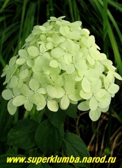 """ГОРТЕНЗИЯ МЕТЕЛЬЧАТАЯ """"Лайм Лайт"""" (Нydrangea paniculata ''Lime Light'') гортензия с крупными пирамидальными соцветиями до 20 см в длину из лимонно-зеленых стерильных цветов, которые постепенно белеют, а к осени приобретают розово малиновые оттенки. Высота 1-1,5м, цветет очень обильно с июля по октябрь. ЦЕНА 450-1500 руб (4-8 летки) НЕТ НА ВЕСНУ"""