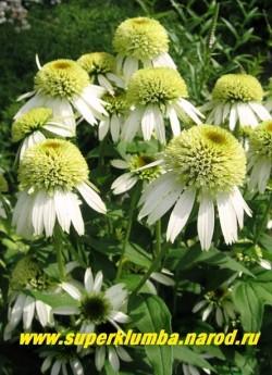 """Эхинацея """"МИЛКШЕЙК"""" (Echinacea """"Milkshake"""") Молочно белые махровые цветки-помпоны с небольшим оранжевым центром, высота куста 50-70 см, цветет длительно с июля-сентябрь. ЦЕНА 350 руб (делёнка)"""