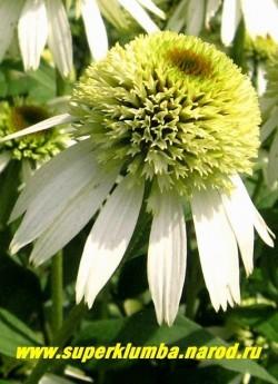 """цветок эхинацеи """"МИЛКШЕЙК"""" (Echinacea """"Milkshake"""") Цветет длительно с июля-сентябрь, очень долго и обильноцветущая за счет многочисленных боковых побегов. ЦЕНА 350 руб (делёнка)"""