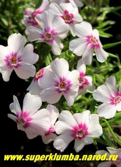 """ФЛОКС ШИЛОВИДНЫЙ """"Корал ай"""" (Phlox subulata """"Coral Eye"""") Вечнозелёные ковры толщиной 5-10 см. Цветки белые с   очень ярким широким пурпурным глазком, диаметр цветка 2-2,5 см, цветет с конца мая около 30 дней. НОВИНКА! ЦЕНА  300 руб  (1 кустик)   НЕТ НА ВЕСНУ"""