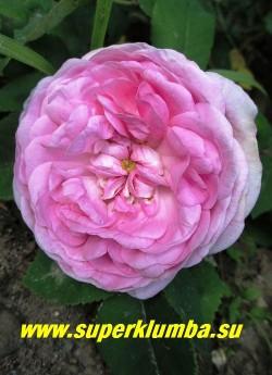 "РОЗА ""СТАРИННАЯ ПАРКОВАЯ"" . Цветок крупным планом.  НОВИНКА!  ЦЕНА 400-500 руб  (3-5 летка)"