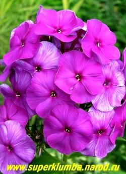 Флокс метельчатый ОТЕЛЛО (Phlox paniculata Othello) С, 90/3,4-3,8. Темно-лиловый, при вечернем освещении сине-лиловый, с ярким лиловым глазком, соцветие овальное, средней плотности. Куст раскидистый. Зимостойкий, устойчивый.ЦЕНА 200 руб (1 шт) или 400 руб кустик (3-4 шт)