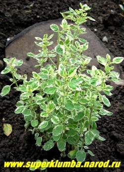 """ДУШИЦА ОБЫКНОВЕННАЯ """"Вариегата"""" (Origanum vulgare ''Variegata'') густые кустики с ароматичной бело-зеленой листвой, Цветет с июля светло -розовыми цветами в щитковидных соцветиях, высота 20-35 см, используют как пряность и лекарственное средство. НОВИНКА ,  НЕТ В ПРОДАЖЕ"""