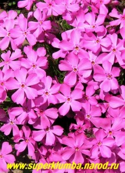 """ФЛОКС ШИЛОВИДНЫЙ """"Мак Дениэлс Кашн"""" (Phlox subulata """"Mc Daniels Cushion"""") Вечнозелёные ковры толщиной 5-12 см,   очень крупные розовые с малиновым глазком цветы , диаметр цветка до 2,8 см, высота 10 см, цветет с конца мая   около 30 дней. ЦЕНА 200-250 руб  (1 кустик)"""