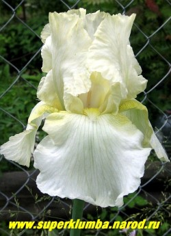 Ирис ЛЕМОН МИСТ (Iris Lemon Mist)  Белый с легким лимонным оттенком, бело-лимонная бородка, слегка гофрирован c легким кружевом на верхних лепестках. Среднего срока цветения, высота до 80 см. НОВИНКА! ЦЕНА 200 руб НЕТ НА ВЕСНУ