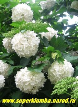 """КАЛИНА ОБЫКНОВЕННАЯ """"БУЛЬ ДЕ НЕЖ"""" (Viburnum opulus """"Boule-de-Neige"""") чрезвычайно декоративный сорт калины обыкновенной , высота до 2,5 м, цветет май-июнь. ЦЕНА 400-500 руб  (4-5 летки)"""