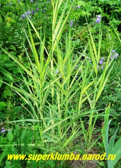 """ТРОСТНИК ЮЖНЫЙ """"Вариегатус"""" (Phragmites australis """"Variegatus"""") Эффектный сорт с голубовато-желтой листвой, высота 70-150см - чем сырее место, тем он выше. Цветет в августе крупными эффектными золотисто-розовыми метелками. Зимостоек. ЦЕНА 300 руб (делёнка)"""