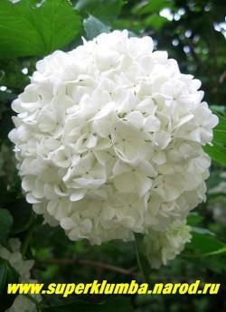 """Главной особенностью КАЛИНЫ ОБЫКНОВЕННОЙ """"БУЛЬ ДЕ НЕЖ"""" (Viburnum opulus """"Boule-de-Neige"""") являются крупные, до 10 см в диаметре, шаровидные соцветия снежно-белого цвета, состоящие только из стерильных цветков. ЦЕНА 400-500 руб  (4-5 летки)"""