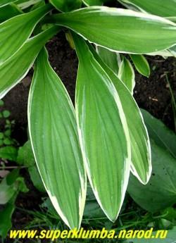 Листья ХОСТЫ ПРЯМОЛИСТНОЙ КИТАЙСКОЙ (Hosta Rectifolia chionea) крупным планом . Узнаваемая и редкая в садах хоста. НОВИНКА! ЦЕНА 250 руб. (1 шт)