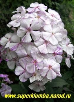 Флокс метельчатый СЛЕДЫ (Phlox paniculata Sledy) Репрев Ю.А., 1983, С, 80/3,7. Белый с темно-лиловыми брызгами, иногда с темно-лиловой штриховкой, диаметр цветка 3,8см, высота 90-100см, среднего срока цветения, эффектный сорт, чемпион и лидер выставок. ЦЕНА 300 руб ( шт) или 600 руб (кустик: 3-4 шт) НЕТ НА ВЕСНУ