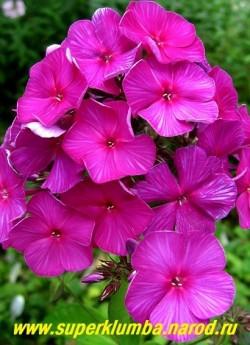 """Флокс метельчатый ЧАРОДЕЙ (Phlox paniculata Charodei) Гаганов П.Г., до 1972 г, С, 90-100/3,5-3,8. Темно-фиолетово-пурпурный с более фиолетовым центром, подкладка лепестков светлая. Лепестки слегка волнистые. Соцветие округло-коническое, плотное. Не выгорает. Очень эффектный.  Второе название этого флокса """"Волшебник"""". ЦЕНА 250 руб (1шт) или 450 руб кустик (3-4 шт)"""