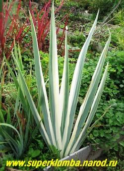 """ИРИС БЛЕДНЫЙ АЛЬБО """"ВАРИЕГАТА"""" (Iris pallida lat. albo """"Variegata"""") зелено-голубые листья с широкой белой каймой декоративны все лето. В июне цветет лавандово-голубыми цветами. НОВИНКА! ЦЕНА 250 руб (1 дел)  НЕТ В ПРОДАЖЕ"""