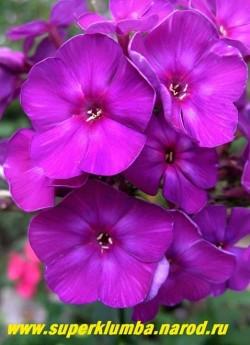 Флокс метельчатый АНЮТА (Phlox paniculata Anyuta) Репрёв Ю.А., 1997, С, 70-80/3,8-4,0. Днём темно пурпурный, вечером темно фиолетово-синий, малиновое колечко и лёгкое высветление в центре. Соцветие овально-коническое, большое, средней плотности. Куст прочный. НОВИНКА! ЦЕНА 250 руб (1шт) или 500 руб ( куст 3-4шт)