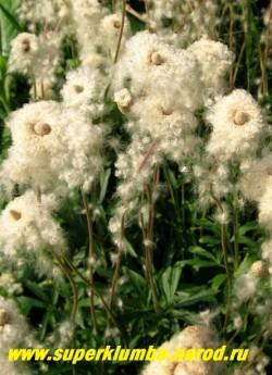 АНЕМОНА ЛЕСНАЯ (Anemone sylvestris)  После цветения анемона завязывает семена в пушистом окружении , которые выглядят тоже декоративно. ЦЕНА 150-200 руб (делёнка)
