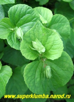 ФИАЛКА УДИВИТЕЛЬНАЯ. На фото 2-й тип цветов - зеленоватые клейстогамные, развивающиеся на концах побегов, из которых затем образуются семена, ЦЕНА 150-200 руб. (1 дел)