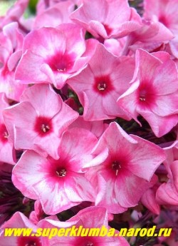 Флокс метельчатый УРАЛЬСКИЕ СКАЗЫ (Phlox paniculata Uralskiye skazy), Цветы крупным планом.ЦЕНА 200 руб (1 шт) или 450 руб  (куст 3-4 шт)