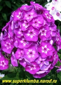 Флокс метельчатый УСПЕХ (Phlox paniculata Uspekh) Гаганов П.Г., 1937, С, 70/4. Цветки темно-фиолетовые колесовидные с большой белой звездой в центре, соцветие коническое или шарообразное , куст мощный компактный, неприхотливый. ЦЕНА 200 руб (1 шт) или 450 руб кустик (3-4 шт)