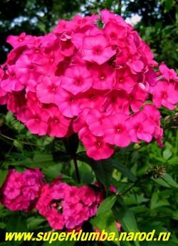 Флокс метельчатый ОСТ ? (Phlox paniculata Ost) Старинный сорт, CП, 110-2,5-2,8. Малиново-красный, очень яркий, соцветия очень крупные , ветвистые, верхняя часть стеблей темно -малиновая, ЦЕНА 350 руб (кустик 3-4 шт)