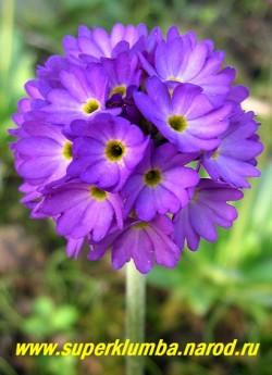 """Примула мелкозубчатая """"ФИОЛЕТОВАЯ КРУПНОЦВЕТКОВАЯ"""" (Primula denticulata), высота до 20 см, цветет апрель-май, ЦЕНА 300 руб (штука)"""