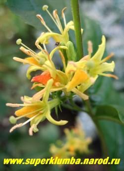 ДИЕРВИЛЛА РУЧЕЙНАЯ (Diervilla rivularis) редкий кустарник до 1 м высотой с красивой блестящей темно-зеленой листвой цветущий с июля по август изящными желто-оранжевыми цветами похожими на цветы вейгелы, собранными по 4-7 шт. в пазушные соцветия. Растение неприхотливо и морозоустойчиво.  НЕТ  В ПРОДАЖЕ
