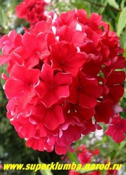 Флокс метельчатый СТАРФАЙЕР (Phlox paniculata Starfire) Германия, С, 75/3,5. Темно-красный, очень яркий, не выгорает, стебли в верхней части темно--пурпурные, диаметр цветка - 3,5 см, выс, 80 см. ЦЕНА 300 руб (1 шт)