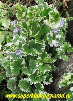 """цветет БУДРА ПЛЮЩЕВИДНАЯ """"Вариегата"""" (Glechoma hederacea """"Variegata"""") Цветы двугубые, фиолетово-голубоватые 10-18 мм длиной , собраны в листочных пазухах по 3-4 шт и расположены на прямостоячих стеблях до 15 см высотой. ЦЕНА 150-200 руб (1 дел)"""