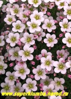 """цветы крупным планом КАМНЕЛОМКИ АРЕНДСА """"розовой"""" (Saxifraga x arendsii), Цветки до 1,5 см в диаметре розовые, светлеют в процессе роспуска. Цветет в мае-июне очень обильно. ЦЕНА 150-200 руб ( 7-12 розеток)"""