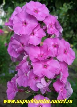 Флокс метельчатый БЛЮЗ ? (Phlox paniculata Blyuz) С, 80/4,5. Лилово-сиреневый с малиновым глазом, cоцветие округло-коническое, плотное, красивый сорт!  ЦЕНА 250 руб (1 шт) НЕТ НА ВЕСНУ
