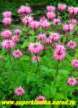 """МОНАРДА ГИБРИДНАЯ № 7 """"ярко- розовая двойчатая"""" (Monarda х hybrida) , ярко-розовые цветы в собранные в 2-х или 1-но ярусные головчатые соцветия , ароматные листья (пряность), высота до 80 cм, цветет в июле-августе 50 дней . ЦЕНА 250 руб (1дел)"""