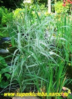 ДВУКИСТОЧНИК ТРОСТНИКОВЫЙ или ФАЛЯРИС (Phalaris arundinacea)  На фото молодой куст на берегу маленького дачного прудика. Пестрая листва фаляриса прекрасно контрастирует с темнозеленой листвой аировидного ириса. ЦЕНА 150 руб ( 1дел) (делёнка)