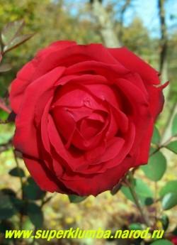 """РОЗА """"СОФИ ЛОРЕН"""" чайногибридная Бутоны шаровидные, заостренные, темно-красного цвета. Цветы яркие, кроваво-красные, с нежным слабым ароматом, чашеобразные, с высоким центром, крупные (диметром до 12 см), махровые (до 35 лепестков). Кусты высокие (до 120 см), прямые. НЕТ В ПРОДАЖЕ"""